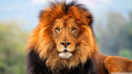 Lionpict